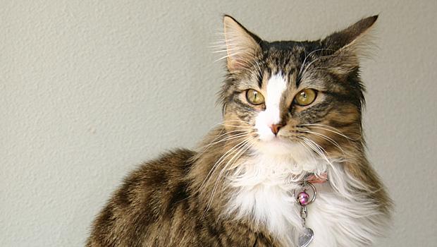 ダレノガレ明美の飼っている猫の種類と画像動画